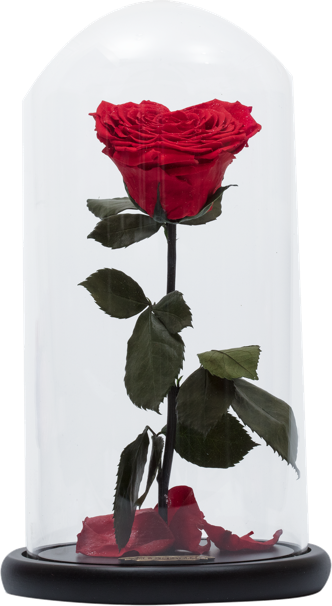 Wieczne róża pod szklanym kloszem Adel de flores